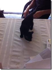 p-2014-Kitten Charles zzb